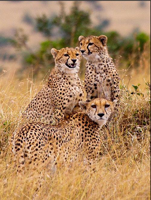 Pennys-cheetahs